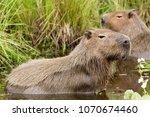 capybara  hydrochaeris...   Shutterstock . vector #1070674460
