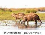 capybara  hydrochaeris...   Shutterstock . vector #1070674484