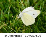 Small Cabbage White  Summer...