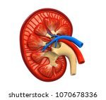 human kidney cross section.3d... | Shutterstock . vector #1070678336