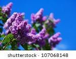 Purple Lilac Branch In Spring...