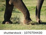 three limbs of an elephant | Shutterstock . vector #1070704430