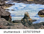 galapagos iguana basking in the ... | Shutterstock . vector #1070735969