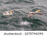 gannet  genus morus  family...   Shutterstock . vector #1070744294