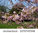 cherry blossoms   cherry trees... | Shutterstock . vector #1070745548
