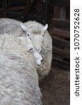 Small photo of Sheeps with abundant fur