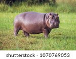 hippo on the run on land in the ... | Shutterstock . vector #1070769053