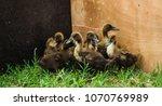 Little Duck With Grass