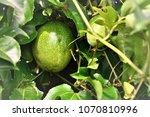 Passiflora Edulis Ripening In...