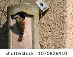 sparrow on a nesting hole at... | Shutterstock . vector #1070826410
