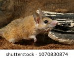 Small photo of closeup spiny mouse (Acomys cahirinus) hunts on insect