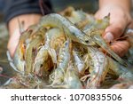 pacific white shrimp shrimp is... | Shutterstock . vector #1070835506