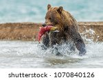 The Bear Catches The Salmon  ...