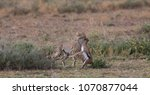 the cheetah carries the victim... | Shutterstock . vector #1070877044