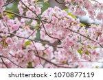 sakura blooming in spring at... | Shutterstock . vector #1070877119