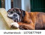 German Boxer Dog Sleeping In...