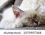 Stock photo birman cat kitten 1070907368