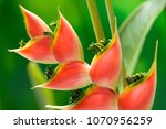 Red Tropical Heliconia Flower...