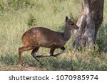 a bushbuck in full stride as it ... | Shutterstock . vector #1070985974