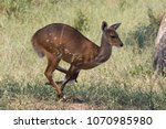 a bushbuck in full stride as it ... | Shutterstock . vector #1070985980