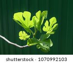 figs straightens the leaves. | Shutterstock . vector #1070992103