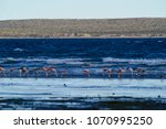 flamingos in seascape patagonia ... | Shutterstock . vector #1070995250