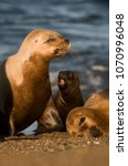 mother and baby sea lion ... | Shutterstock . vector #1070996048