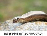 close up of the head of a slow... | Shutterstock . vector #1070999429