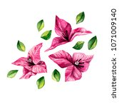 pink bougainvillea beautiful... | Shutterstock . vector #1071009140