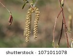 Small photo of Flowers of a Yellow birch (Betula alleghaniensis)
