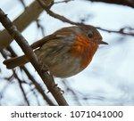 european robin  erithacus...   Shutterstock . vector #1071041000