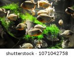 piranhas are waiting for food... | Shutterstock . vector #1071042758