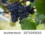grapes on a vine | Shutterstock . vector #1071043010