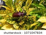 this is a titan beetle or... | Shutterstock . vector #1071047834