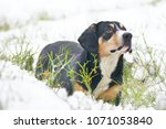 serious entlebucher mountain... | Shutterstock . vector #1071053840