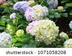 beautiful hydrangea flowers in... | Shutterstock . vector #1071058208
