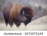 American Bison  A.k.a. Buffalo...
