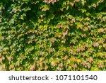 green leaves nature background. ... | Shutterstock . vector #1071101540