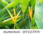 bird of paradise flower or...   Shutterstock . vector #1071117374