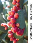 prickly pear fruit or nopal in... | Shutterstock . vector #1071125039