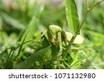 praying mantis  mantis...   Shutterstock . vector #1071132980