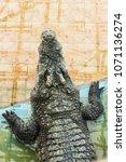 Small photo of crocodile. thailand crocodile. Freshwater crocodile