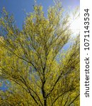 Small photo of Palo Verde or Parkinsonia aculeata tree golden crone with blooming yellow flowers in Spring, back lit