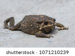 Close Up Of Asian Common Toad...