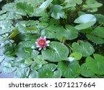aquatic plant nymphea on a... | Shutterstock . vector #1071217664