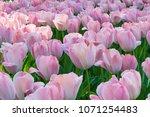 Colorful Tulips At Yokohama Park