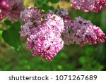 lilac  purple lilac on a branch ... | Shutterstock . vector #1071267689