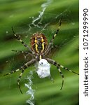 Small photo of A wasp spider with its prey in its spider net