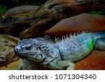 the green iguana  iguana iguana ... | Shutterstock . vector #1071304340