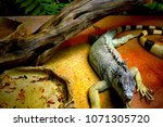 the green iguana  iguana iguana ... | Shutterstock . vector #1071305720
